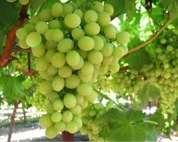 Fresh Rich Taste Green Grapes