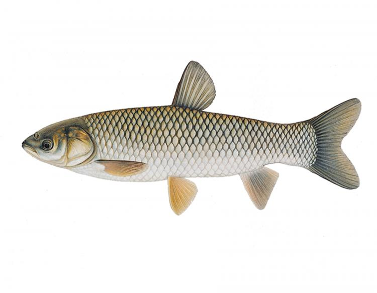 Fresh Catal Fish