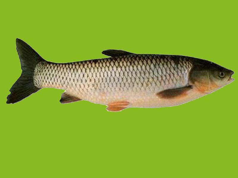 Fresh Grass Carp Fish