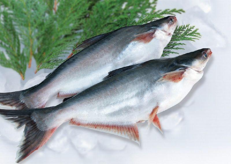 Fresh Pangasius Fish