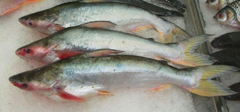Hybrid Pangasius Fish