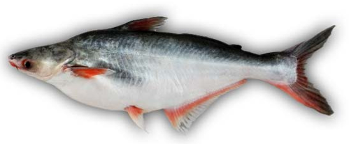 Indian Pangasius Fish
