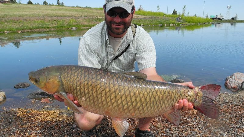 Large Grass Carp Fish