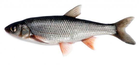 Large Rohu Fish
