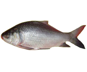 Silver Catal Fish