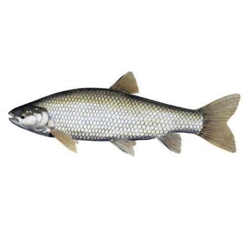 Silver Grass Carp Fish