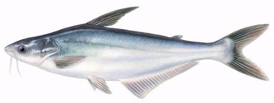 Silver Pangasius Fish