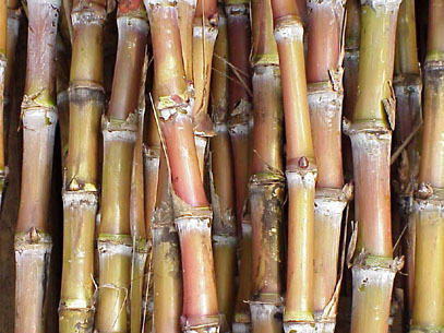 Raw Sugarcane