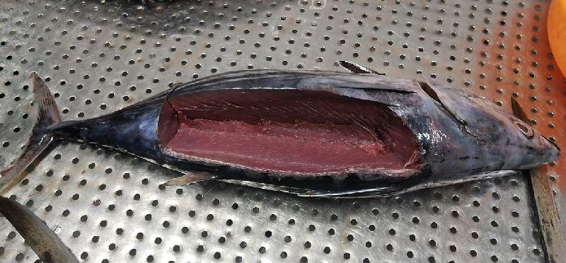 Frozen Skipjack Tuna Fish 02