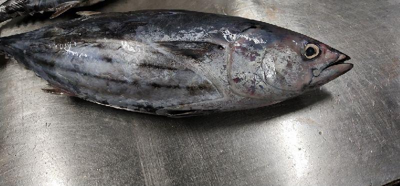 Frozen Skipjack Tuna Fish 03