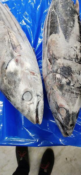 Frozen Skipjack Tuna Fish 04