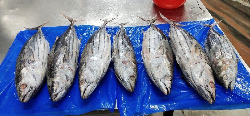 Frozen Skipjack Tuna Fish 07