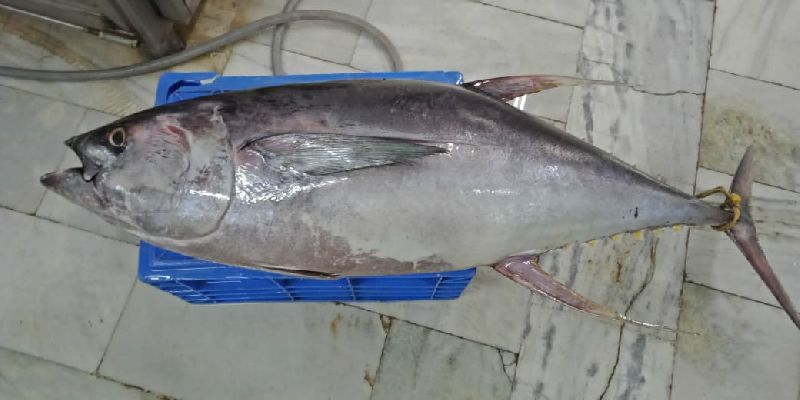 Frozen Yellowfin Tuna Fish  01