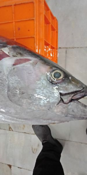 Frozen Yellowfin Tuna Fish  02
