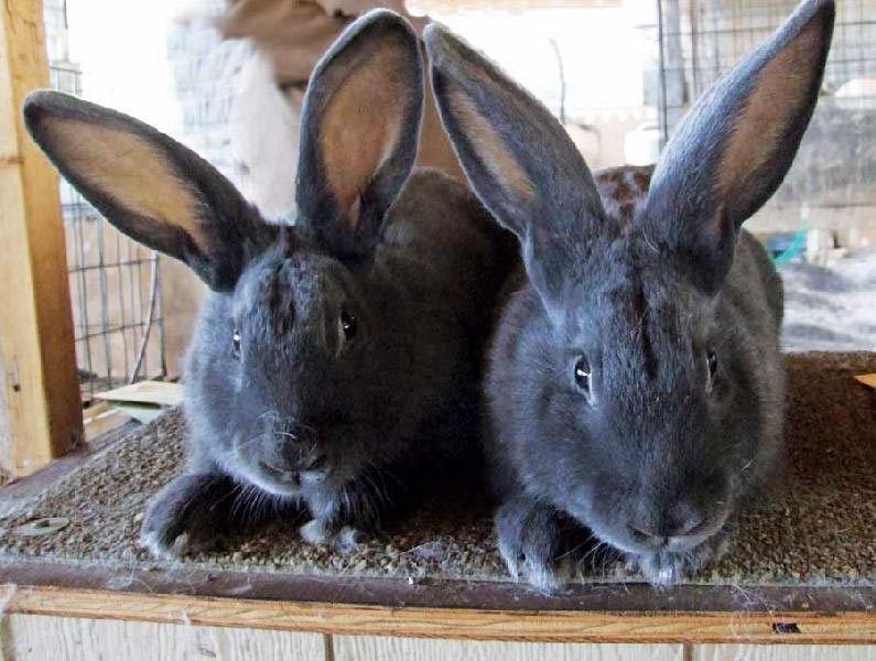 Rabbit Breeding Services