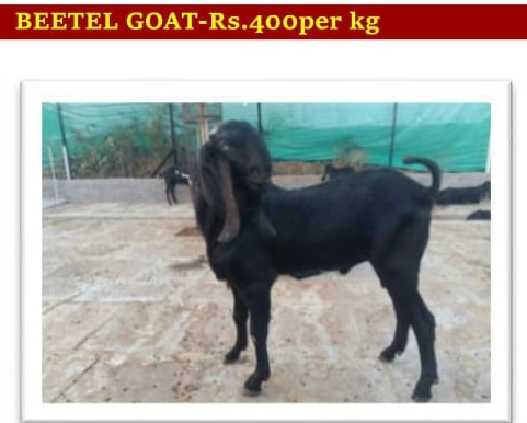 Live Goat - Manufacturer Exporter Supplier in Bangalore India