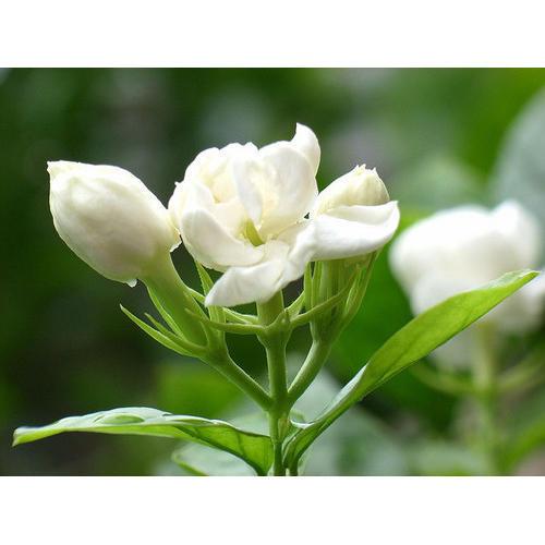 Fresh Jasmine Flower