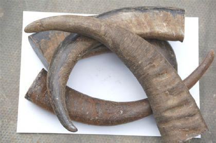 Buffalo horn tip 02