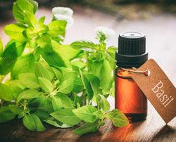Organic Sweet Basil Oil