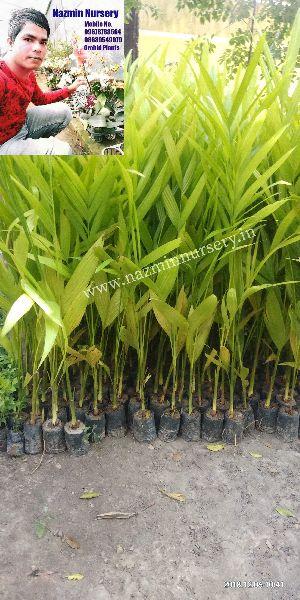 Areca Nut Plant