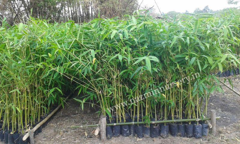 Bambusa Bamboo Balccoa Plant