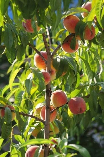 Belle Peach Plant