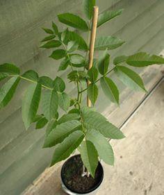 Black Walnut Plants