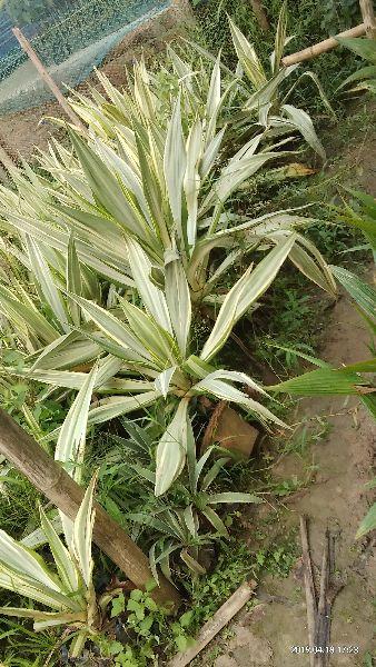 Farkeria Plant