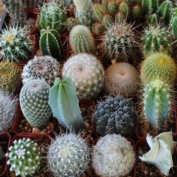 Golden Cactus Plant