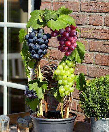Grape Vines Plant