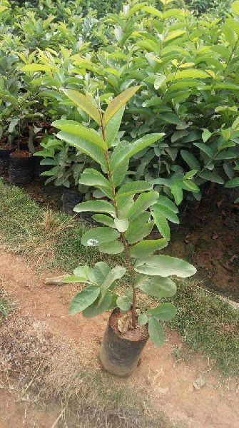 Guavav VNR Plant