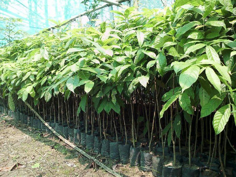 Mehogony Plant