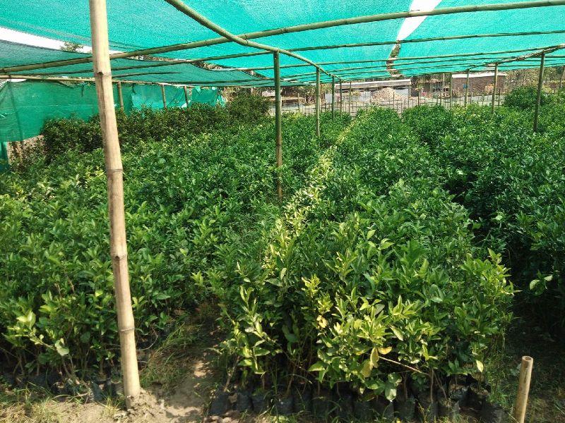 Mosambi Plant
