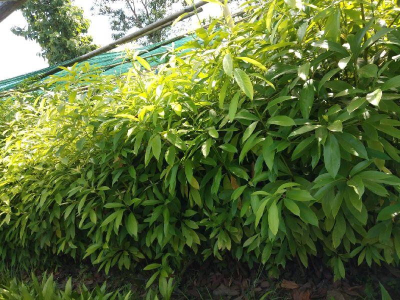 Som Plant