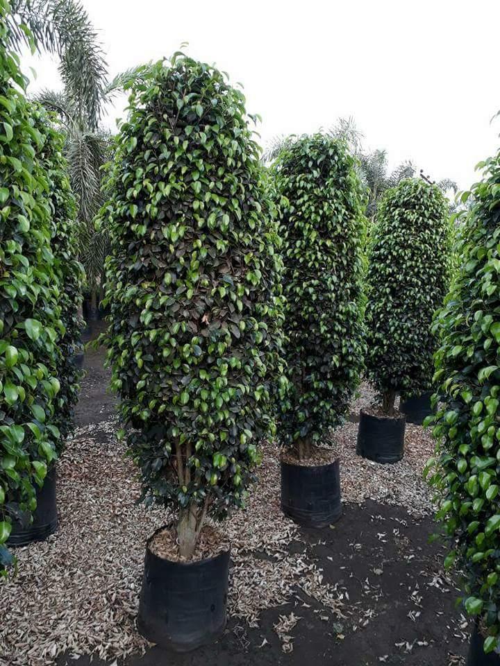 Green Ficus Plant