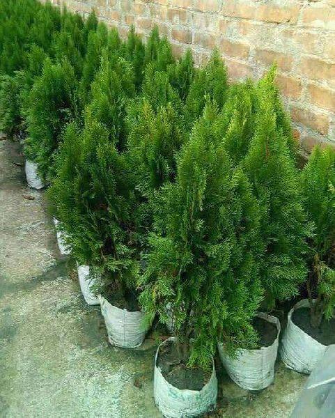 Tuja Pine Tree