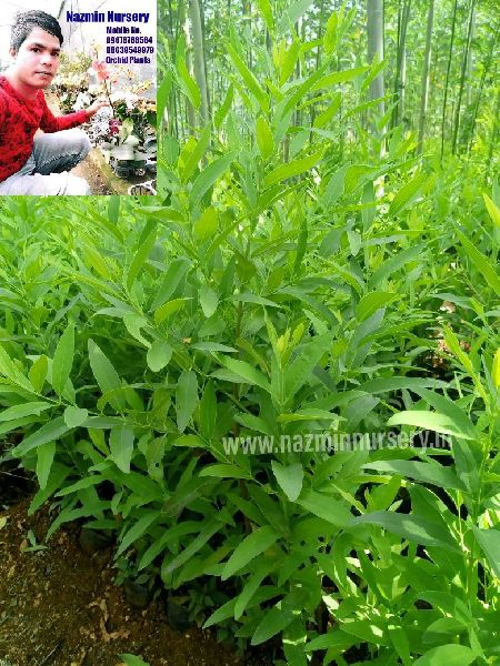 White sandalwood Big Plant