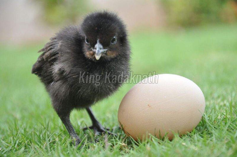 Live Kadaknath Chicks