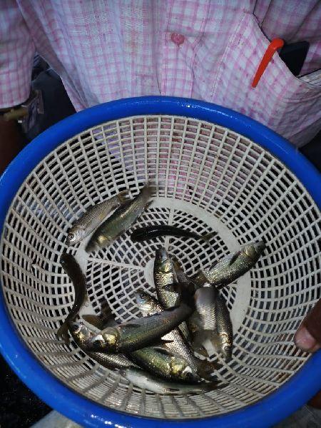 Black Carp Fish Seeds