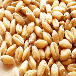 Whole Wheat Seeds