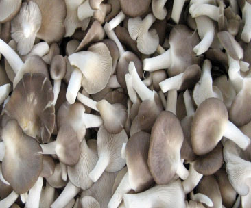 Fresh Sajar kaju Oyster Mushrooms