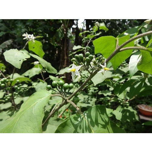 Solanum Torvum Plant