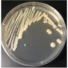 Zinc Solubilizing Bacteria