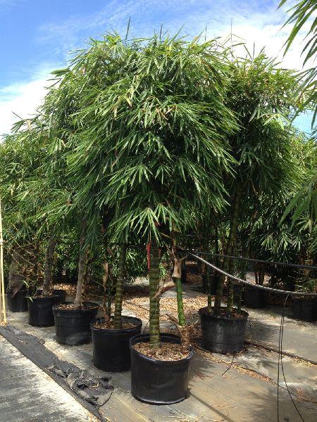 Bambusa ventricosa Plant