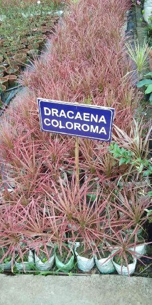 Dracaena Coloroma Plant