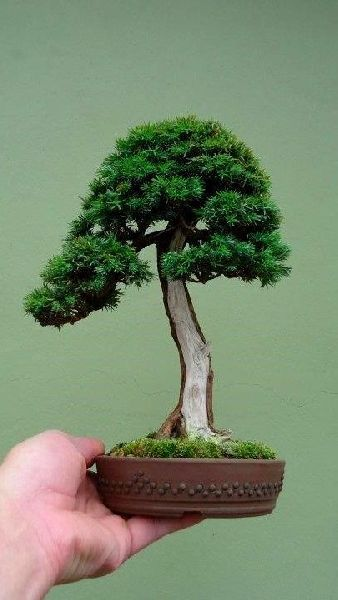 English Yew Bonsai Tree