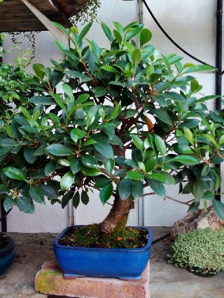 Ficus Retusa Plant