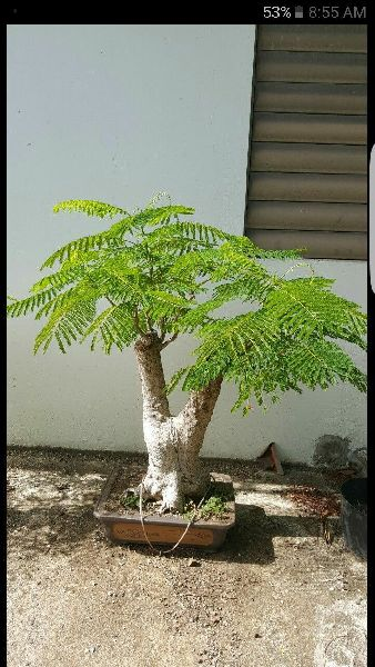 Gulmohar Bonsai Tree