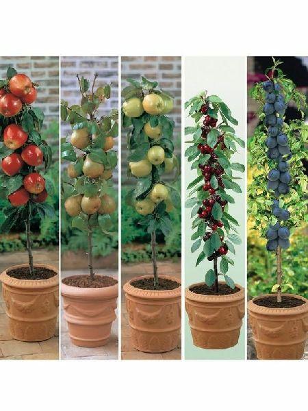 Jamaica  Cherry Plant