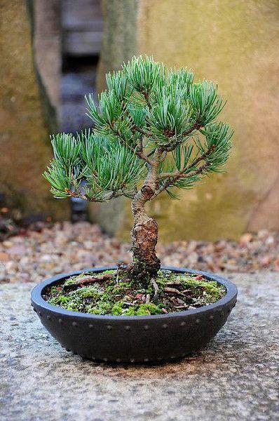 Japanese white Pine Tree